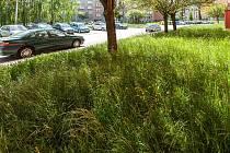 Neposečená tráva v obvodu Ostrava-Jih.
