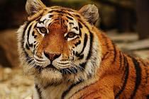 Ussurijská tygřice Maja.