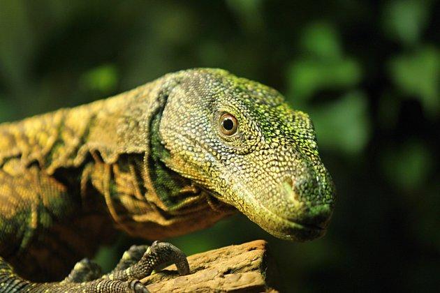Varan papuánský