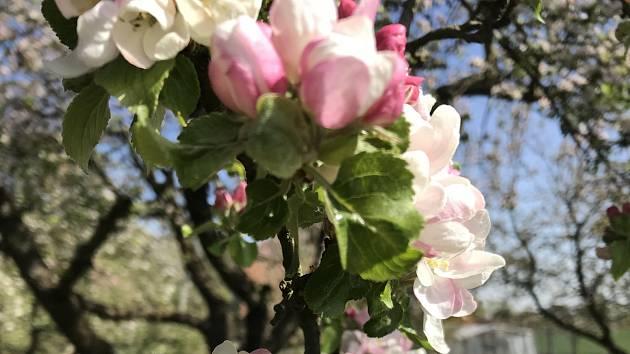 Rozkvétají jabloně