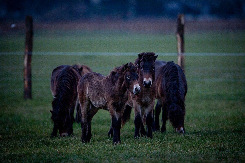 Na Kozmické ptačí louky bylo v listopadu 2019 vypuštěno stádo exmoorských pony.