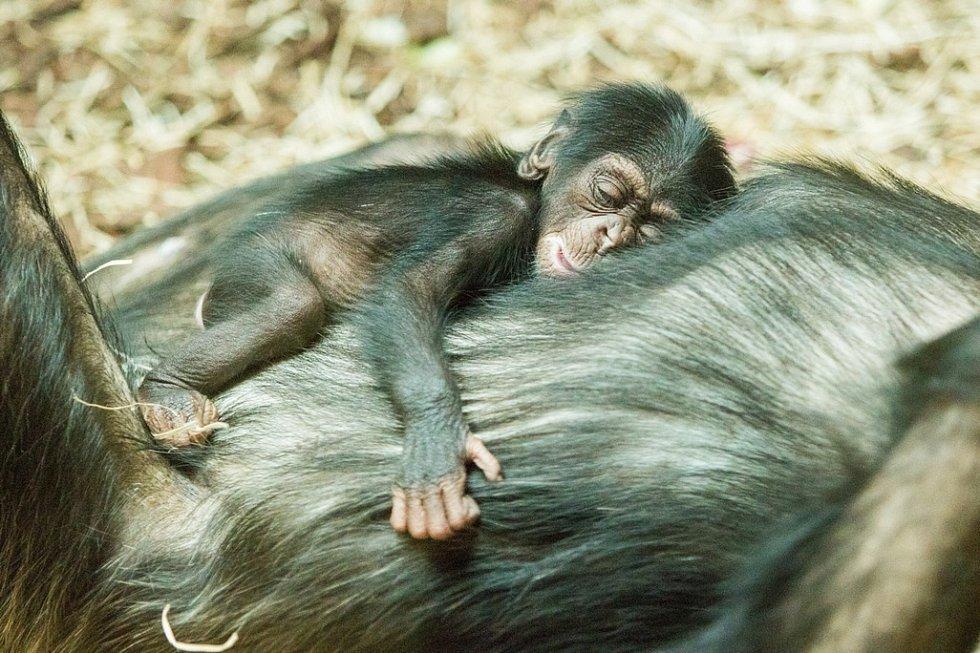 První mládě šimpanze narozené v Pavilonu evoluce ostravské zoo. Snímek z úterý 3. března 2020.