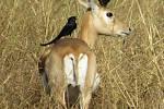 Z indických rezervací, antilopa jelení.