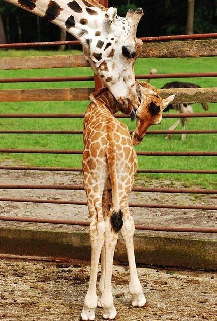 Mládě žirafy rotschildovy v ostravské zoo