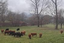Krávy si vyšly na procházku do města. Policisté je úspěšně naháněli.