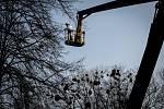 Jmelí, ilustrační snímek. Společnosti Safe Trees provádí postřik proti jmelí v městské části Poruba, 25. března 2021 v Ostravě.