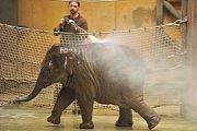 Nejmladší sloní samička z ostravské zoo se narodila 4. února 2014. Letos slaví své první narozeniny.