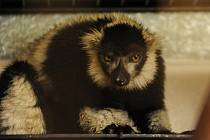 Lemur vari se jménem Izy, který se dva dny toulal po Ostravě, je zpět v ostravské zoo.