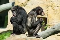 Šimpanzi v Zoo Ostrava