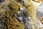 Měsíční mládě lemura mongoz v ostravské ZOO.