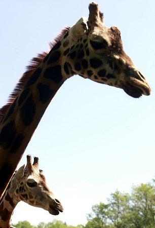 Samec žirafy Rothschildovy Manu opustí Ostravu. Jeho novým domovem se stane jihlavská zoo.