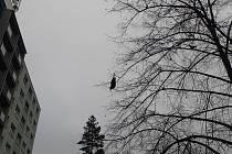 Hasiči v Hlučíně zachránili ze stromu bezmocného havrana.