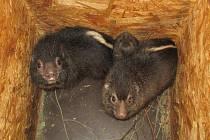 Historicky první odchované mládě damana pralesního přišlo na svět v ostravské zoologické zahradě.