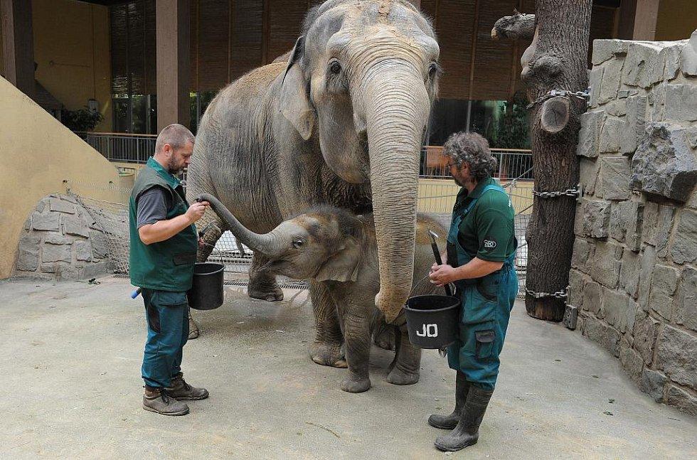 Malá sloní samička Rashmi nedávno oslavila půlleté narozeniny a má se čile k světu. Ve sloním výběhu stále skotačí, koupe se v bazénu a hraje si s míčem. Velmi přátelská a rozverná je i ošetřovatelům. Snaží se je různě šťouchat a kopnout.