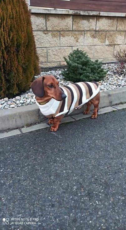 Pes Brok Barbory Havlíkové ve svetříku.