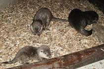 Vydry v ostravské zoo se dočkaly prvního mláděte.