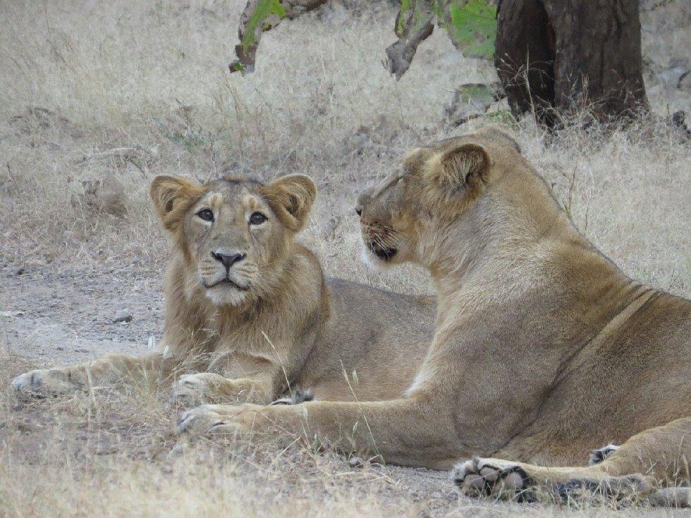 Lvi indičtí v přírodě.