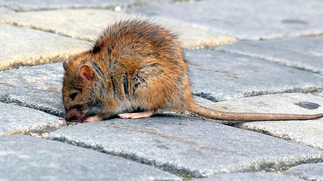 Potkani šíří nemoci. Ilustrační foto.