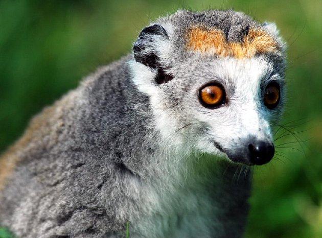 Lemur korunkatý