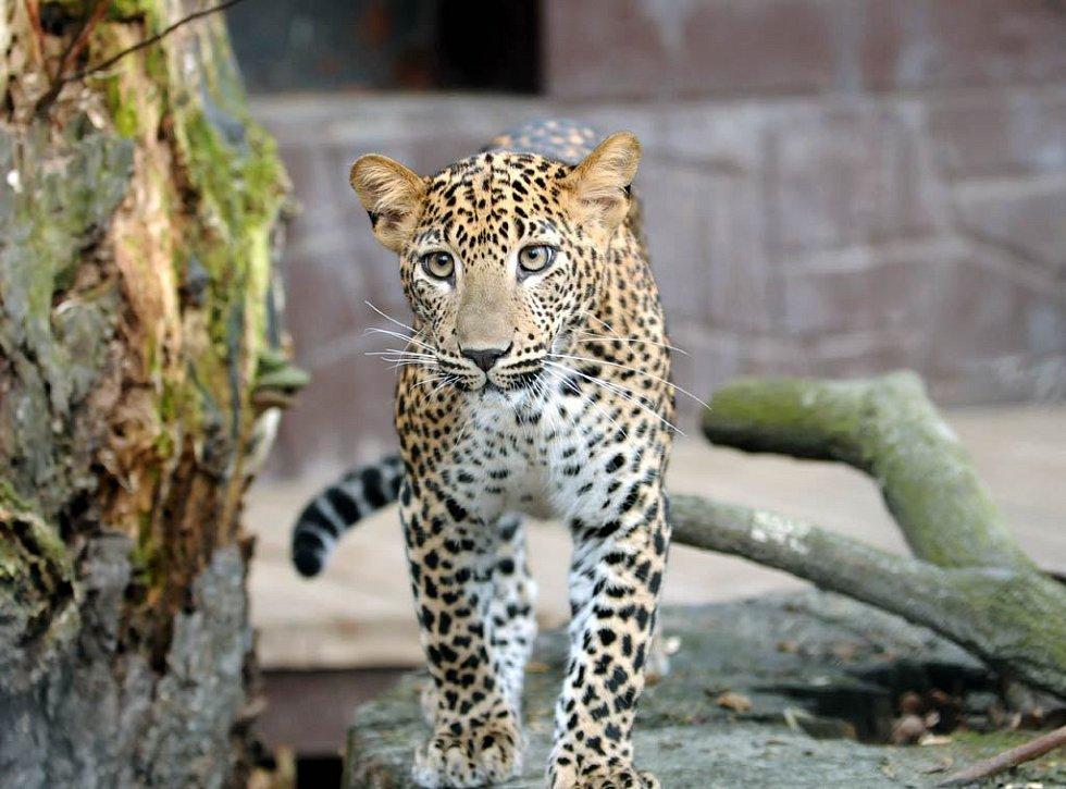 Mladé levhartí slečny v novém výběhu v ostravské zoo
