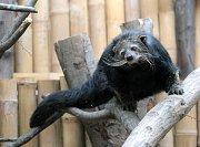 Binturongové mají v ostravské zoo nový výběh