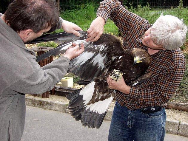 Vedoucí bartošovické stanice Petr Orel (vpravo) ukazuje, kde měla orlice zraněná křídla