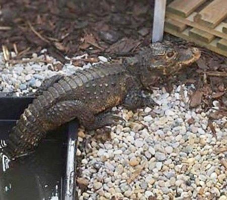 Mireček, krokodýl čelnatý z Ostravy, který se po útěku vrátil domů.