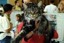 Na ostravském výstavišti Černá louka se o víkendu setkali chovatelé koček. Po oba dny mohli lidé obdivovat kočičí krásu od deseti do sedmnácti hodin.