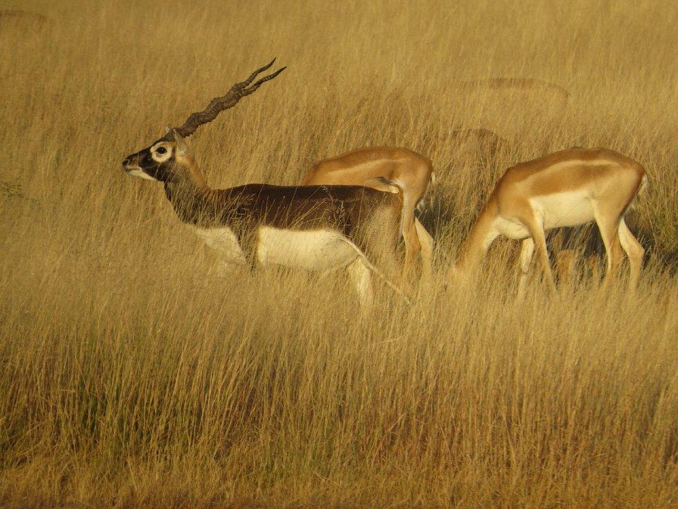 Z indických rezervací, antilopy jelení.