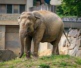 Sloni v ostravské zoo, červen 2017.