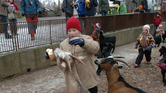 idé krmí kozy kamerunské v kontaktní dětské zoo.