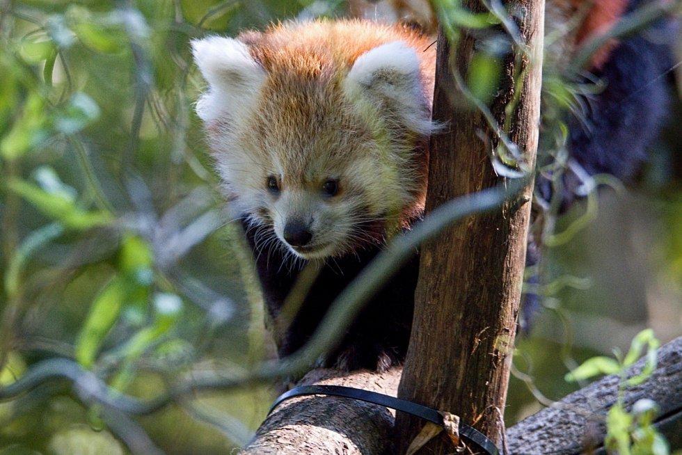 Mládě pandy červené.