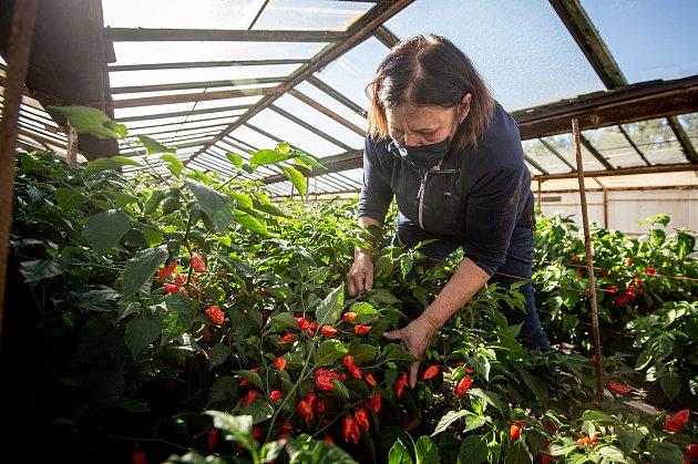 VZahradnictví Poruba pěstují chilli pro výrobce omáček Gaston Chilli, 6.října 2020vOstravě. Majitelka zahradnictví Františka Bestová sbírá papričky.