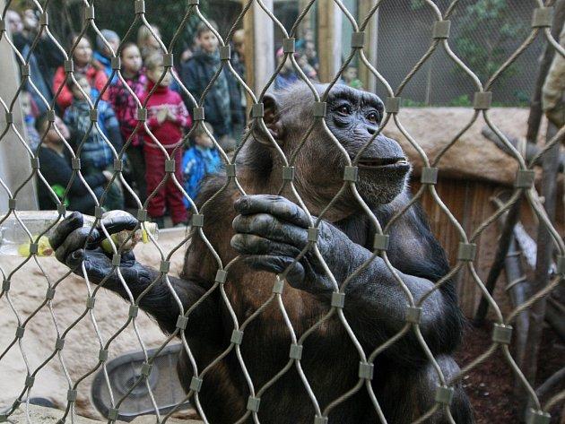 V ostravské zoologické zahradě se v pátek návštěvníci i ošetřovatelé loučili se čtyřmi šimpanzími samicemi, které jsou připravovány na převoz do nového domova. Tím se stane Zoo Lipsko.