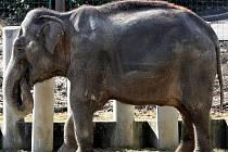 Březí samice slona indického v Ostravské ZOO.