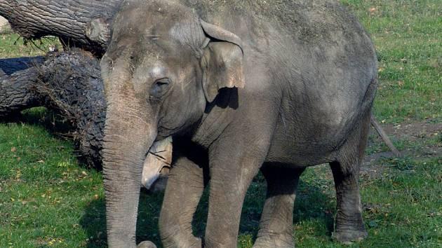 Slonice Jumba v ostravské zoo