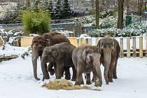 Zimní venčení slonů v ostravské zoo, leden 2021.