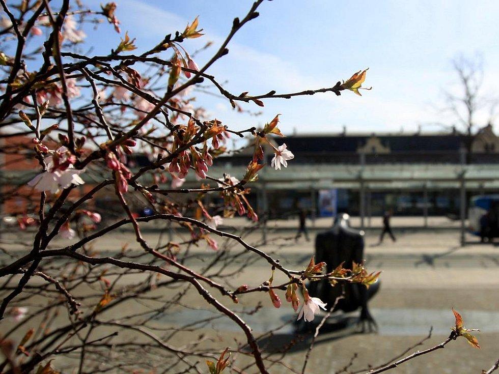 Jaro se krásně vybarvuje. Na snímku růžové rozkvetlé sakury před halou vlakového nádraží vOstravě-Svinově.