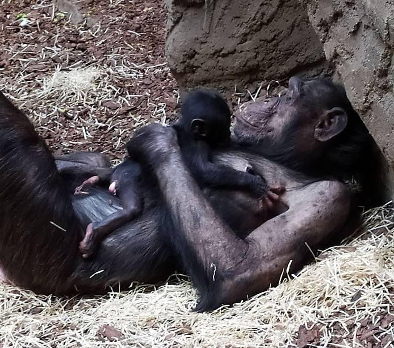 Šimpanzí samice s prvním mládětem narozeným v Pavilonu evoluce ostravské zoo.