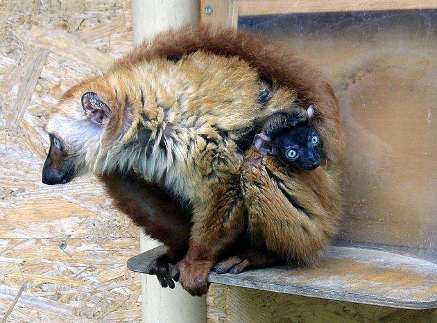 Lemur Sclateruv v ostravské zoo