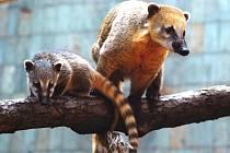 Nosálové červení v ostravské zoo