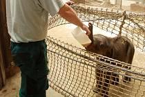Život prvního slůněte ostravské zoo, samečka, je vážně ohrožen.