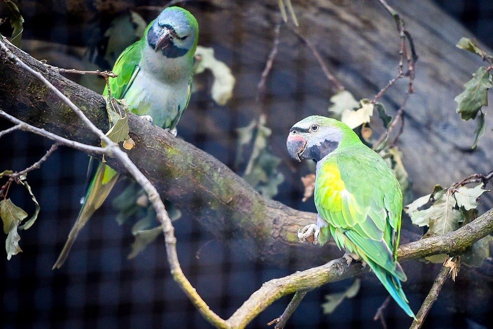 Návštěvníci ostravské zoologické zahrady mají od tohoto týdne možnost vidět nový druh – středně velkého pestrého papouška alexandra čínského, 7. zaří 2018 v Ostravě.