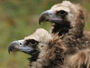 Pár orlů mořských v ostravské zoo. Samec pochází z volné přírody, kde byl vážně zraněn na vedení vysokého napětí, a skončil  v Záchranné stanici v Bartošovicích. Samici zahrada získala ze Zoo Liberec.