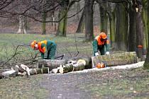 Kácení stromů v ostravských Komenského sadech