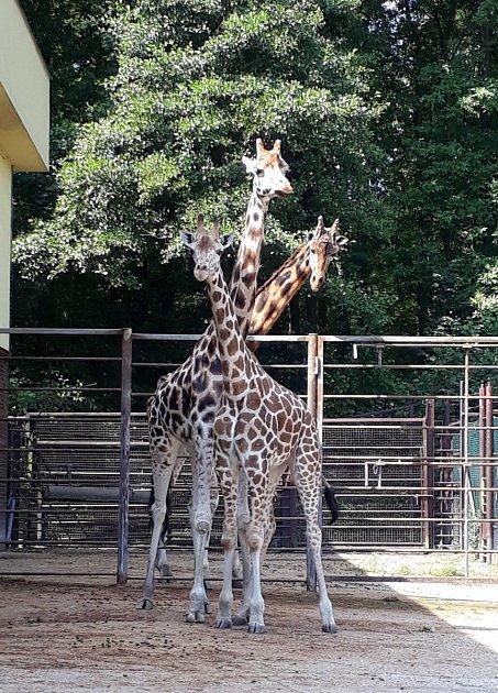 Žirafy vZoo Ostrava