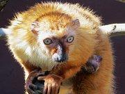 Lemur Sclaterův.