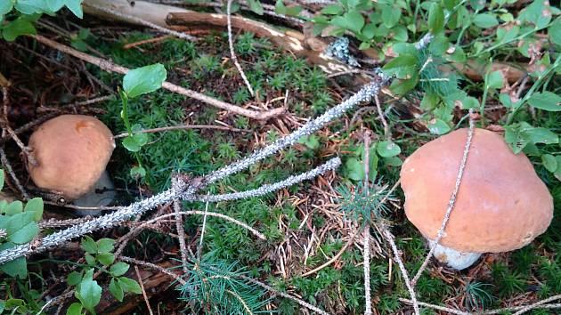 Přesné místo, natož souřadnice, správní houbaři sice v žádném případě neprozradí, nicméně ti na československém pohraničí v Beskydech potvrzují: Rostou!