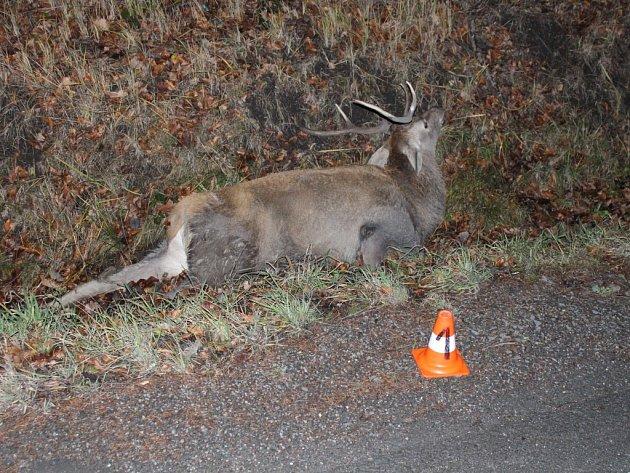 Sražený jelen.