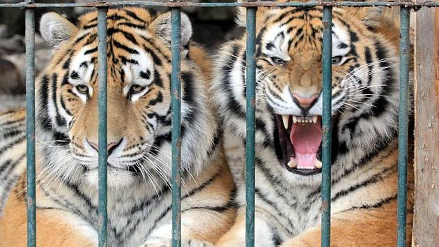 Mladí tygři ussurijští